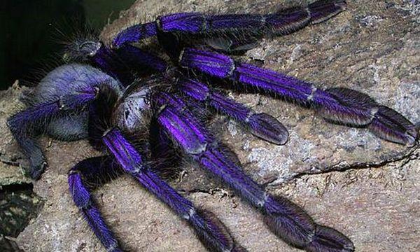 fialová tarantula