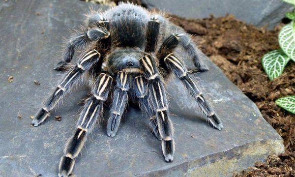 pavúčia tarantula