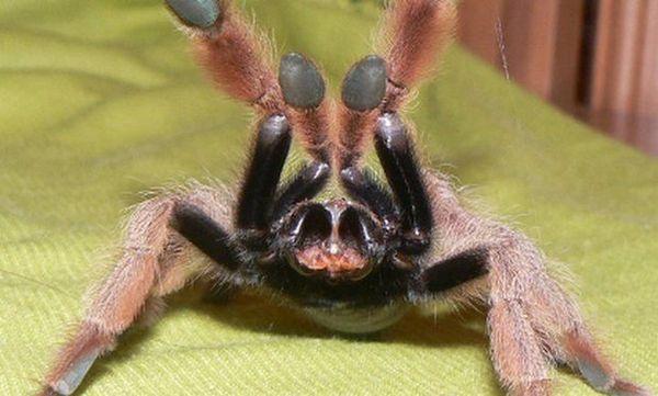 Uhryznutie pavúkom tarantulou