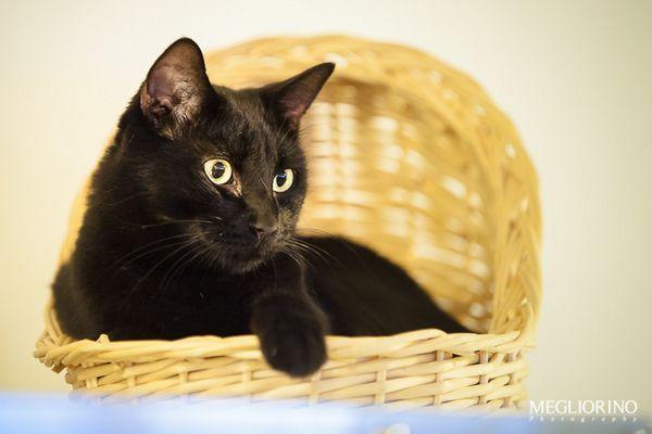 Чорний кіт в лежанці