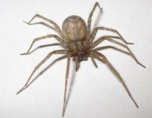 House spider: popis a štrukturálne prvky, životný štýl, metódy boja