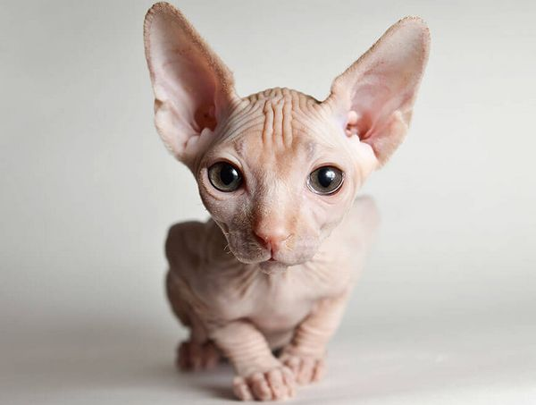 здоровий кіт