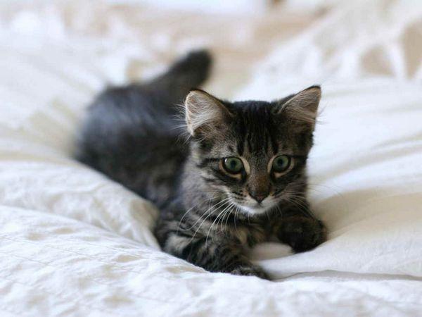 Смекту краще не давати алергенність кішкам