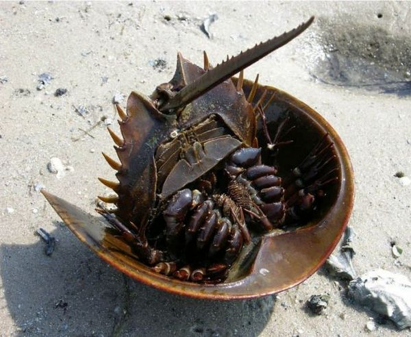 Kraby podkovy na piesku