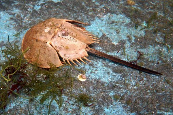 Kraby podkovy na dne