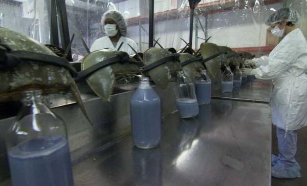 Kraby podkovy v laboratóriu