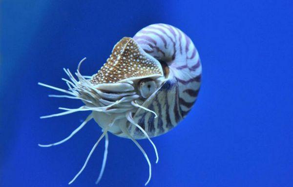 Fotka Nautilus