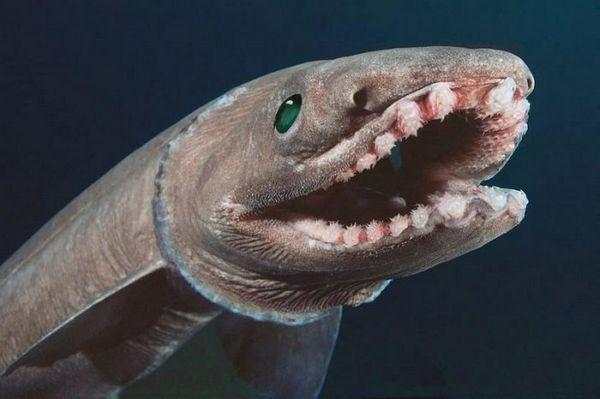 Králik žraloka