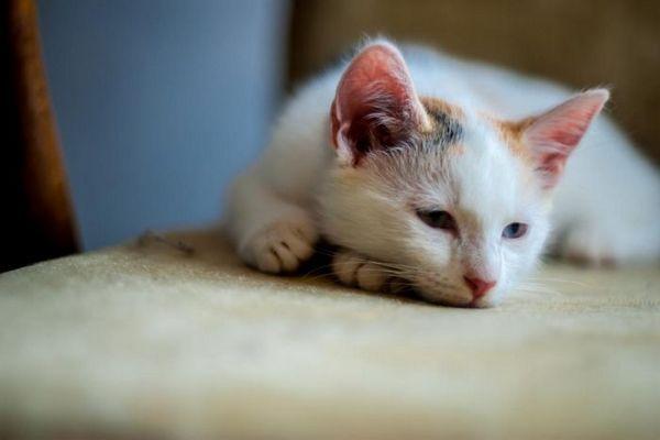 кішка лежить