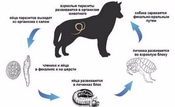 Як собака заражається