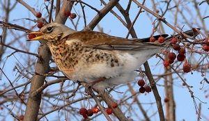 Розмноження птиці дрізд