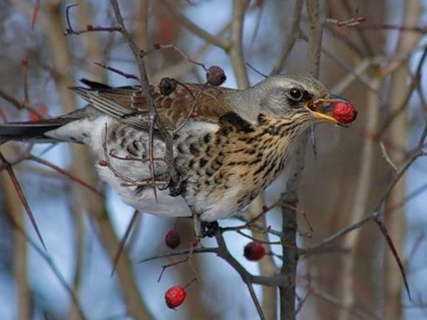 Спосіб життя птиці дрізд