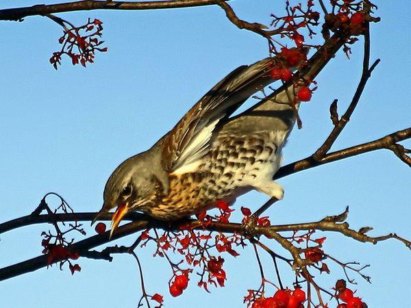Відмінності птиці дрізд рябинник