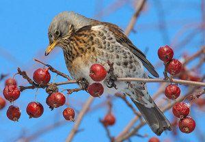 Характеристика птиці дрізд