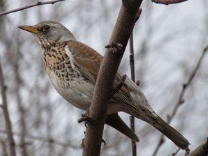 Опис птиці дрізд рябинник