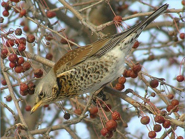 Як довго живе птах дрозл