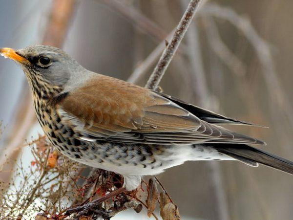 Харчування птиці дрізд