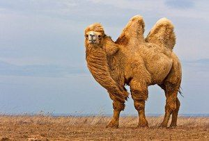 Bactrian ťavy, ich meno, koľko vážia