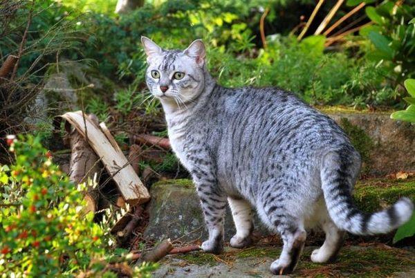 Єгипетська мау - рухлива і енергійна кішка, що проявляє схильності до активних ігор і полюванні. Ця кішка дикого забарвлення підкуповує своєю ласкою і любов`ю до господаря
