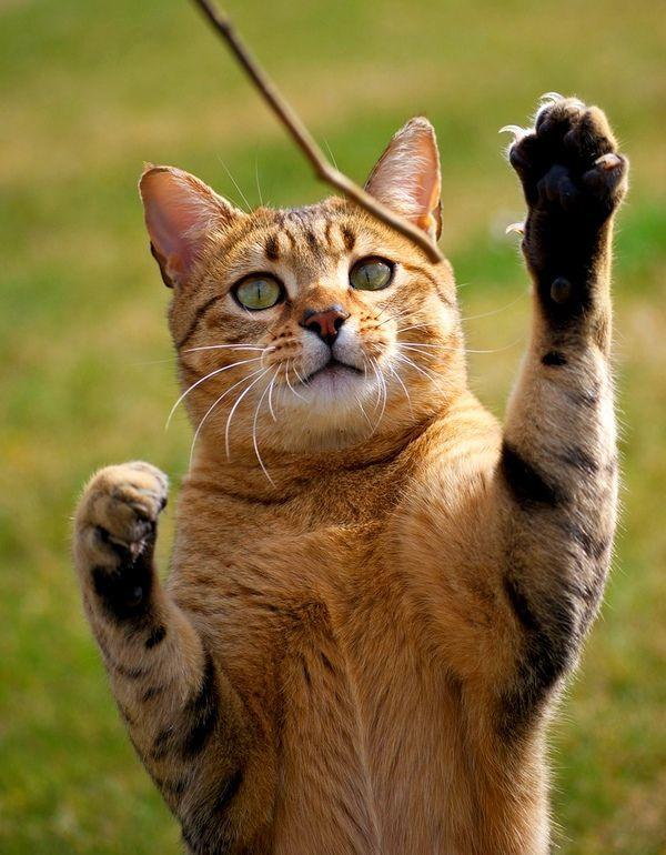 Єгипетська кішка не любить бездіяльно проводити час, цієї киці до душі активні і веселі ігри, прогулянки. Мугикаючи потрібно подарувати кілька іграшок, щоб зайняти її під час вашої відсутності