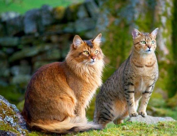 Шикарна парочка: норвезький лісовий кіт і єгипетська мау