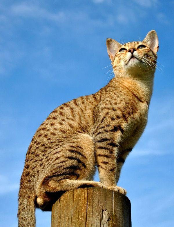 Порода єгипетський мау відрізняється любов`ю до свого потомства. Часто коти допомагають кішкам під час пологів, а після активну участь у вихованні дітей