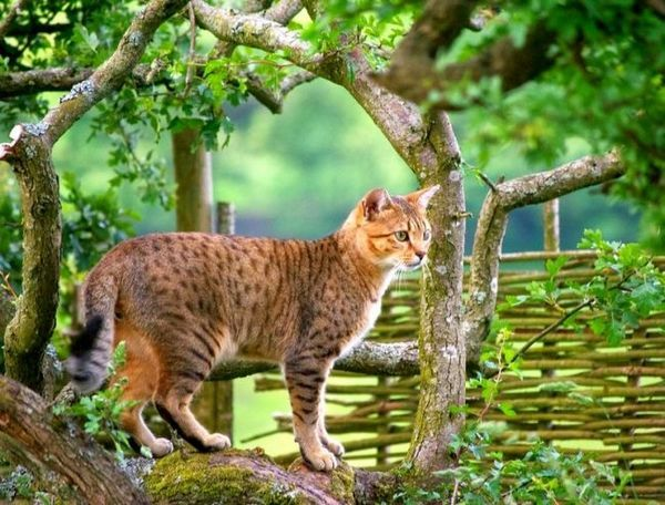 Гордий володар єгипетської мау стане не просто власником справжньої котячої еліти, а також знайде тямущого співрозмовника, спритного мисливця і відданого друга