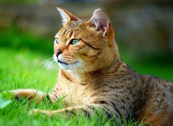 Кішка єгипетська мау дуже відданий своєму господареві. Вона обожнює проводити час з людьми і зовсім не терпить самотності