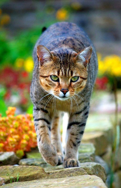 Однією з характерних особливостей єгипетської кішки є