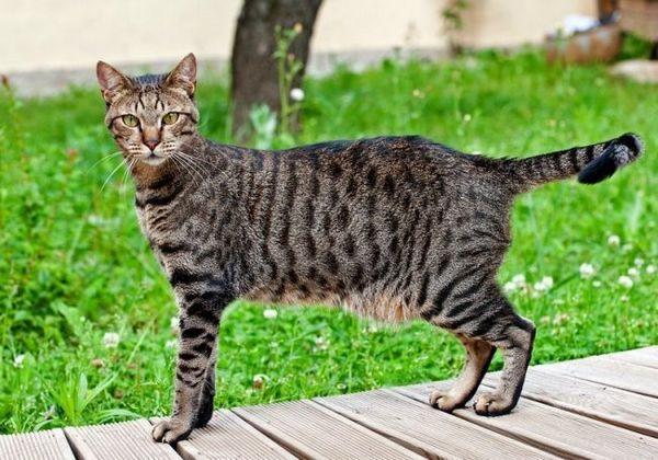 Кішки єгипетські мау дуже люблять спілкуватися з господарем. Вони видають безліч різних звуків. Такою своєрідною піснею кицьки висловлюють всю гаму своїх почуттів
