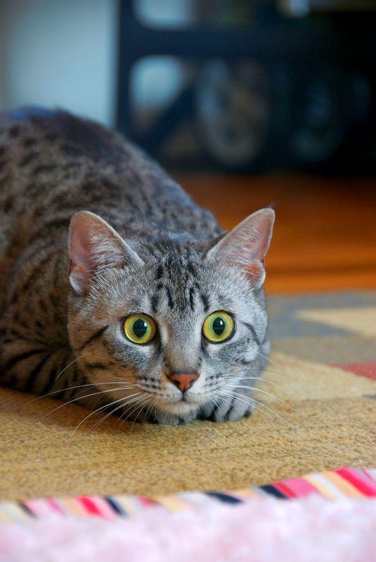 Єгипетська мау може похвалитися навичками мисливця. Завдяки прекрасному зору і слуху, кішка вправно полює за дрібними гризунами