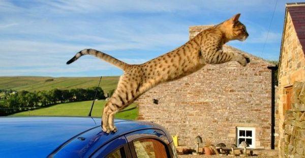 Єгипетська мау - справжня чемпіонка з бігу серед котячих. Немає жодної іншої породи, яка могла б розвивати швидкість до 58 км / год