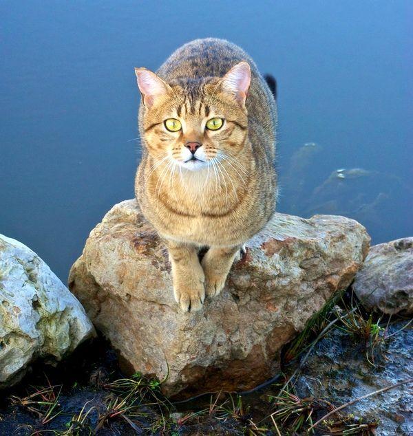 Рідко яка кішка ставиться з такою ж любов`ю до води, як єгипетська мау. Ці киці люблять грати лапками у воді, купатися