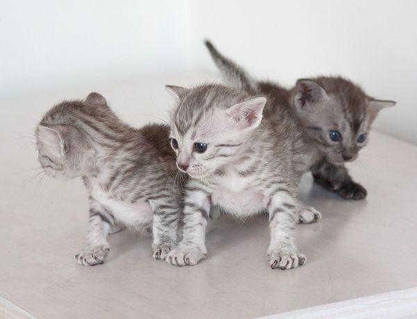 кошенята єгипетської мау