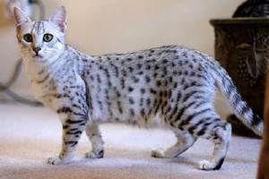 Кішка Єгипетська мау