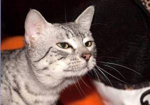 Порода кішки Єгипетська мау