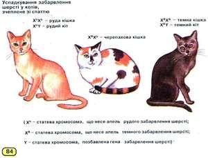 Скільки хромосом у кішок