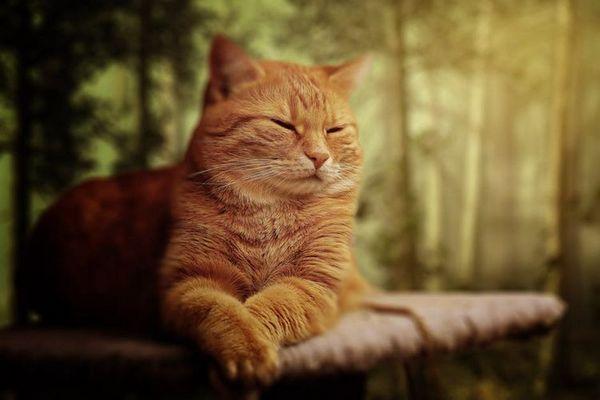 Рудий кіт