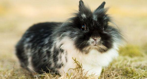 Je cítiť zápach z dekoratívnych králikov?