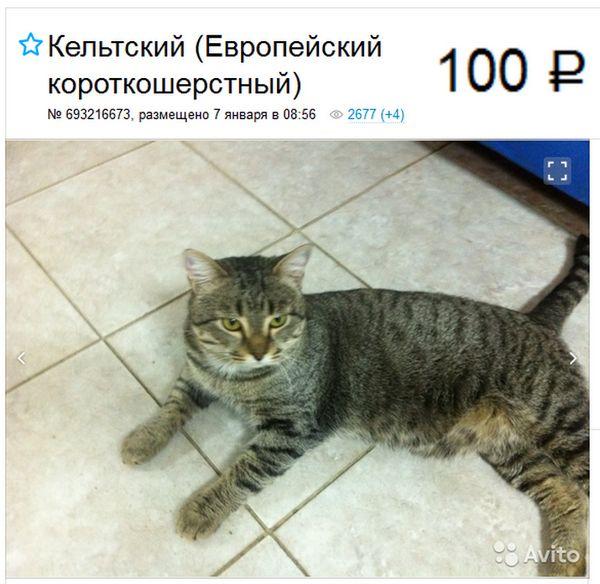 Європейська короткошерста кішка оголошення