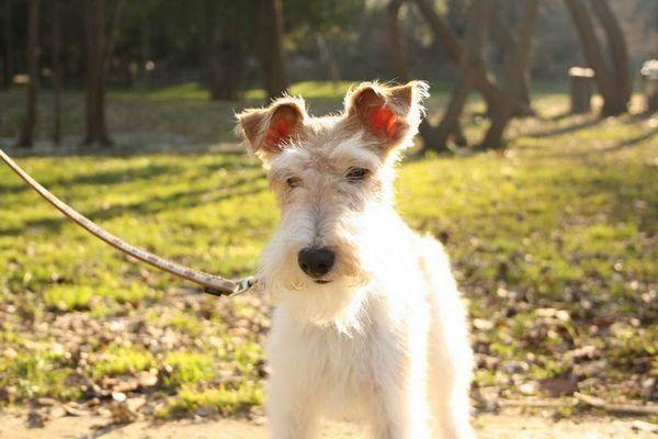 Порода собак Фокстер`єр