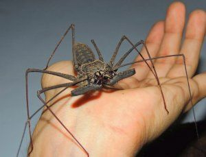 Фрин (турникет паяк): структурни особености, начин на живот, местообитание, съдържание