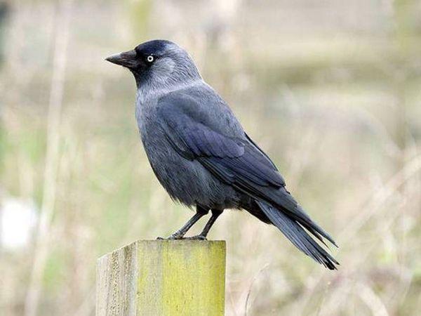 Галка - поширена птах