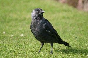 Звички птиці галка