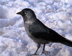 Де можна зустріти птаха галку