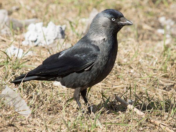 Де живе птах галка