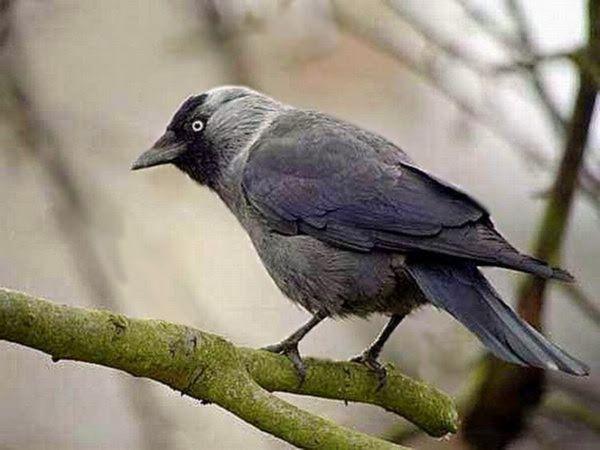 Чорний птах галка