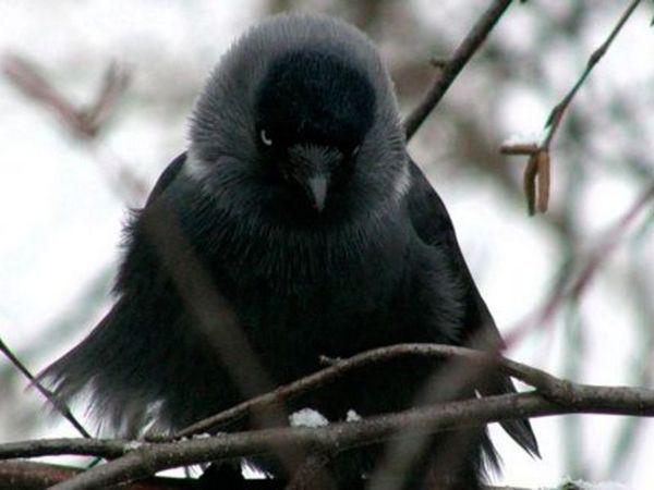 Де зимує птах галка