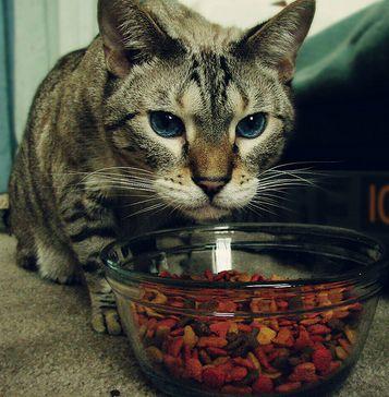 Перегодовування може стати причиною гастриту у кішок