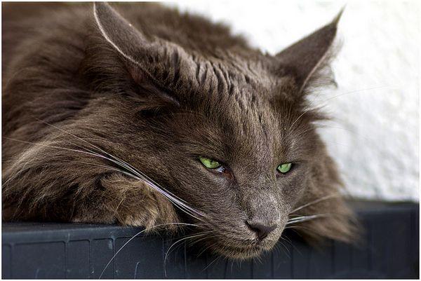 млявість - один із симптомів гастриту у кішок